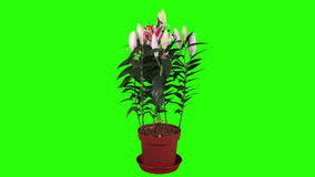 Blooming pink lily flower buds green screen, FULL HD. stock video