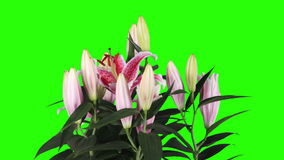 Blooming pink lily flower buds green screen, FULL HD. stock footage