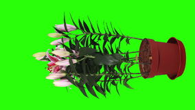 Blooming pink lily flower buds green screen stock video
