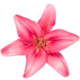 Blooming pink lily Royalty Free Stock Photo