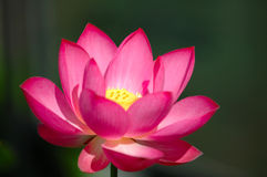 The blooming pink lotus flower stock photos