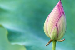 Pink lotus flower bud with green leaves. Blooming pink lotus flower bud with green leaves Stock Photography
