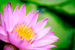 A blooming pink lotus flower natural background Lotus leaf, Lily. Pad with copy spce. lotus meaning and symbolism in Hinduism, Buddhism, Chinese and Egyptian stock image