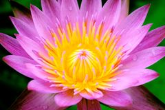 A blooming pink lotus flower natural background Lotus leaf, Lily. Pad with copy spce. lotus meaning and symbolism in Hinduism, Buddhism, Chinese and Egyptian royalty free stock photo