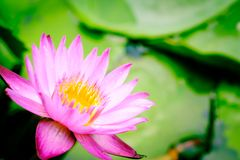 A blooming pink lotus flower natural background Lotus leaf, Lily. Pad with copy spce. lotus meaning and symbolism in Hinduism, Buddhism, Chinese and Egyptian royalty free stock photos
