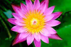 A blooming pink lotus flower natural background Lotus leaf, Lily. Pad with copy spce. lotus meaning and symbolism in Hinduism, Buddhism, Chinese and Egyptian stock images