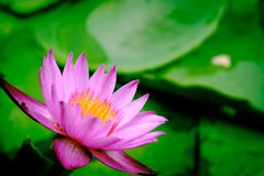 A blooming pink lotus flower natural background Lotus leaf, Lily. Pad with copy spce. lotus meaning and symbolism in Hinduism, Buddhism, Chinese and Egyptian stock photos