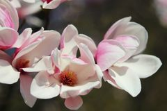 Blooming pink magnolia on a blurry dark background. Spring garden. Joyous mood awakening life. Paradise beauty of a new life. Blooming pink magnolia on a blurry Royalty Free Stock Images