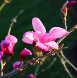 Blooming pink magnolia flowers in spring Stock Photos