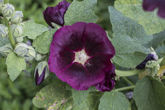 Blooming pink mallow (hollyhock) in the garden closeup Royalty Free Stock Photo