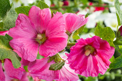 Blooming pink mallow, hollyhocks. Blooming pink mallow, bright hollyhocks Royalty Free Stock Photos