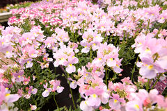 Blooming pink Nemesia. Bedding flowers close-up Stock Images