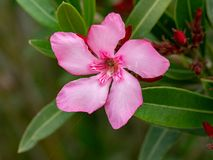 Close up pink Oleander Nerium   flower in nature garden. Blooming Pink Oleander flowers Oleander Nerium   close up. Selective focus Stock Photos