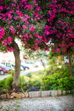 Blooming pink oleander tree in the city Stock Photography