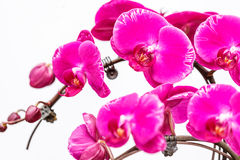 Blooming pink orchid background Royalty Free Stock Photography