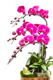 Blooming pink orchid background Stock Image