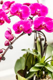 Blooming pink orchid background Royalty Free Stock Photos