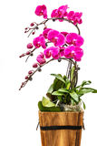 Blooming pink orchid background Stock Photo