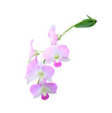 Blooming pink orchid Stock Images