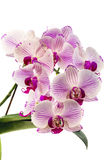 Blooming pink orchid. Royalty Free Stock Photography