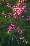 Blooming Pink Peach Blossoms On Tree Stick With Green Background In The Beginning Of Spring. Royalty Free Stock Photography