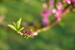 Blooming pink peach blossoms on tree stick in the begining of springÑŽ stock image