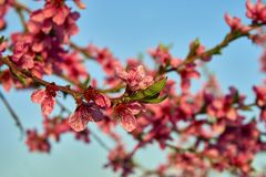 Blooming pink peach blossoms on tree stick on blue sky background in the begining of springÑŽ royalty free stock photography