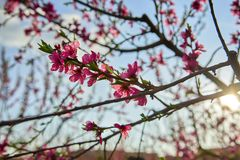 Blooming pink peach blossoms on tree stick on blue sky background in the begining of springÑŽ royalty free stock image