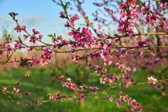 Blooming pink peach blossoms on tree stick with peach trees gardern on background in the begining of springÑŽ stock photography