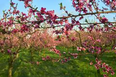 Blooming pink peach blossoms on tree stick with peach trees gardern on nackground in the begining of springÑŽ royalty free stock photos