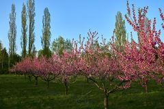 Blooming pink peach blossoms on trees with peach trees gardern on background in the begining of springÑŽ stock images