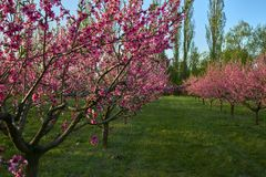 Blooming pink peach blossoms on trees with peach trees gardern on background in the begining of springÑŽ royalty free stock image