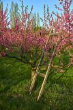 Blooming pink peach blossoms on trees and wooden stepladder with peach trees garden on background in the beginning of spring. Blooming pink peach blossoms on Stock Photos