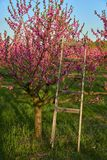 Blooming pink peach blossoms on trees and wooden stepladder with peach trees garden on background in the beginning of spring. Blooming pink peach blossoms on Royalty Free Stock Photo