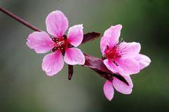 Pink peach flowers royalty free stock images