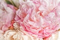 Blooming pink peonies Stock Image