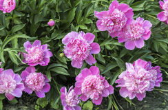 Blooming pink peonies surrounded by green leaves Stock Image
