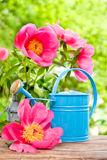 Blooming pink peonies and watercan Royalty Free Stock Images