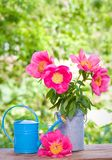 Blooming pink peonies and watercan Royalty Free Stock Image