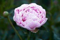 Blooming pink peony Stock Photos