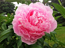 Blooming Pink Peony Stock Images
