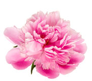 Blooming pink peony isolated Stock Photography