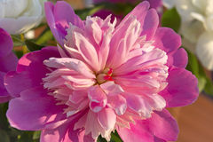 Blooming pink peony Royalty Free Stock Photo