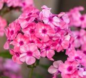 Blooming pink phlox Royalty Free Stock Photography