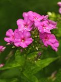 Blooming pink phlox Stock Images
