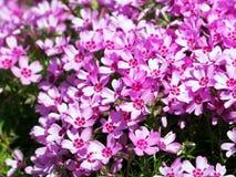 Blooming pink Phlox subulata - Moss phlox Royalty Free Stock Photo