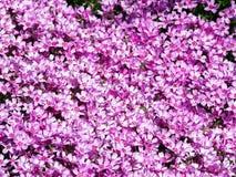 Blooming pink Phlox subulata - Moss phlox Royalty Free Stock Images