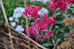 Blooming pink phlox in summer garden Royalty Free Stock Photography