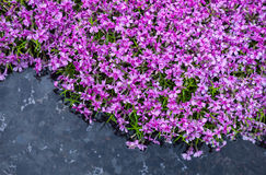 Blooming pink phloxes (Phlox subulata) near the pond Royalty Free Stock Images
