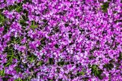 Blooming pink phloxes (Phlox subulata) Royalty Free Stock Photography